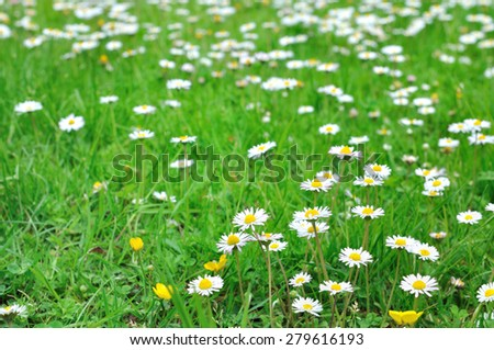 land of small daisies in the grass - stock photo