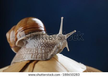 Land snail on a blue background - stock photo