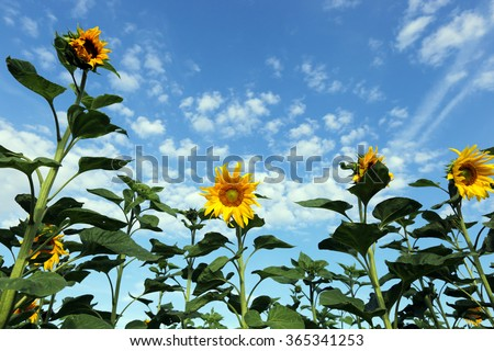 landscape beautiful Sunflowers against the blue sky - stock photo
