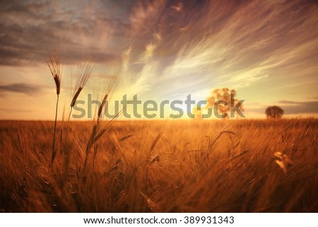 landscape fantastic sunset on the wheat field sunbeams glare - stock photo