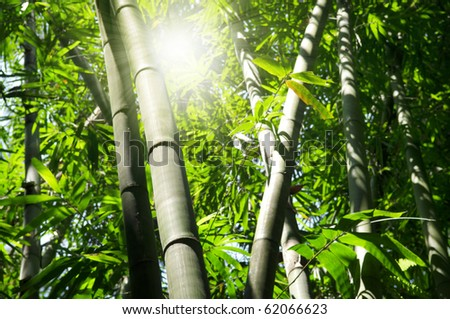 Landscape of Asian Bamboo forest with morning sunbeam. - stock photo