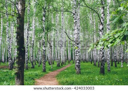 Landscape of birch. Summer forest - stock photo