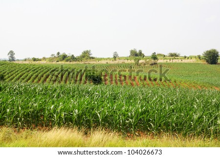 Landscape of corn field - stock photo