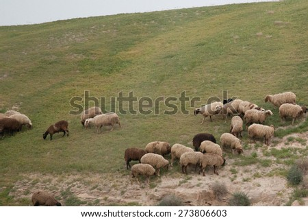 Landscape of dry land with sheep grazing in the Middle East - stock photo
