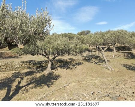 Landscape of olive trees in Catalonia. National Park Cap de Creus, Spain. - stock photo