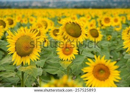 landscape of sunflower field during summer - stock photo
