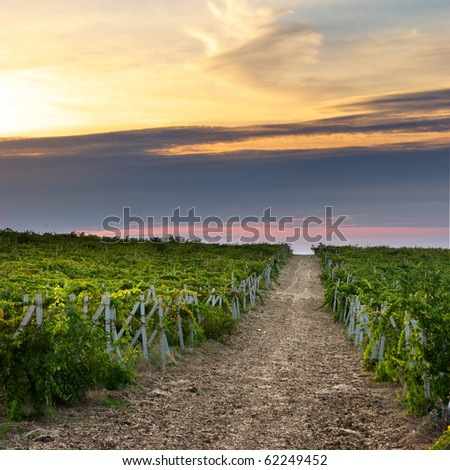 Landscape of vineyard. Nature composition. - stock photo