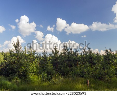 landscape - pine trees natural background - stock photo