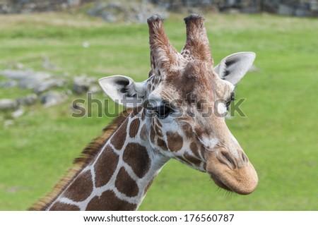 Landscape portrait of a giraffe. - stock photo