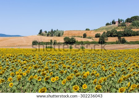 Landscape tuscany with sunflowers - stock photo