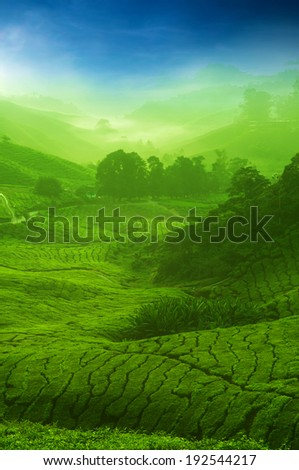 Landscape view of tea plantation with blue sky. Beautiful tea field Cameron Highlands in Malaysia. - stock photo