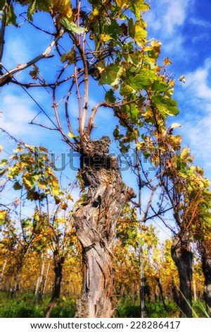 Landscape with autumn vineyard after harvest - stock photo