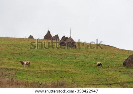 Landscape with fields and grazing cows near the haystacks - stock photo