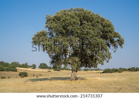 Landscape with holm oak and blue sky - stock photo