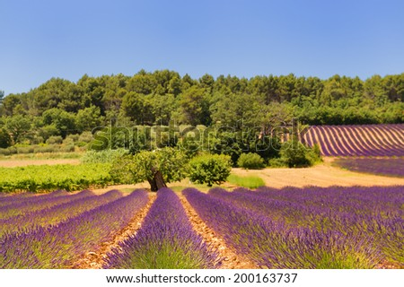 Landscape with lavender in France - stock photo