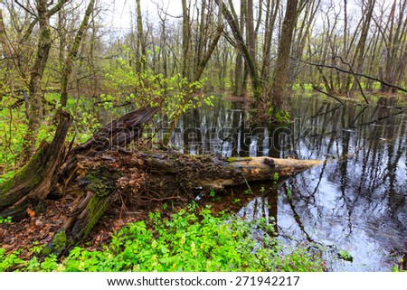 Landscape with old woods if spring forest - stock photo