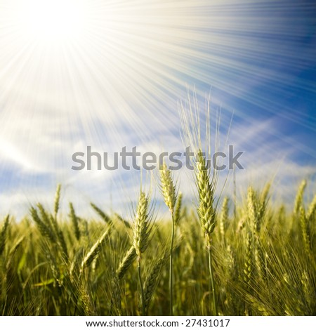 Landscape with ripened spikes of wheat field against a blue sky and shiny sunrays - stock photo