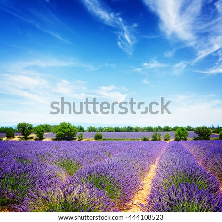 landscape with rows of lavender field under summer blue sky, France, retro toned - stock photo