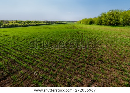 landscape with rows on young wheat field on sunny day - stock photo