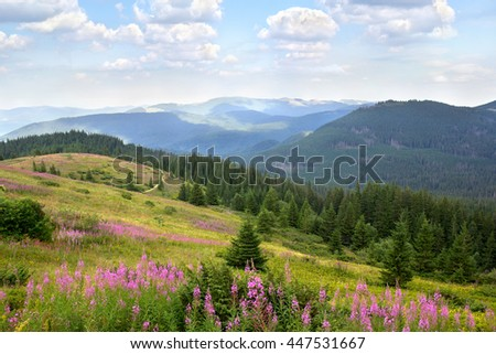 Landscape with spruce, mountains and glade with blooming fireweed (Epilobium angustifolium, Chamerion angustifolium, willowherb). Carpathian mountains. Ukraine - stock photo