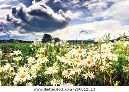 Landscape with summer field covered by daisies  - stock photo