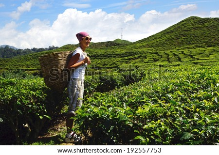 Landscape with tea plantation Cameron highlands, Malaysia - stock photo