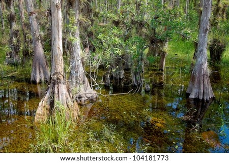 Landscape with view of Bald Cypress trees (Taxodium distichum) growing in the waters of the Big Cypress National Preserve, just north of the  Florida Everglades - stock photo