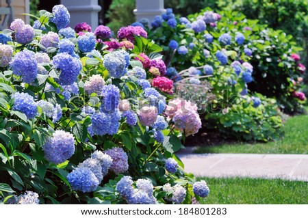 Landscaped Yard with Hydrangeas - stock photo