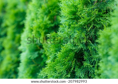 landscaping, Thuja - stock photo