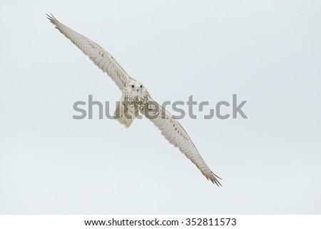 Lanner Falcon, bird of prey with snowflake in cold winter, snow in the forest, animal in the nature habitat, France - stock photo