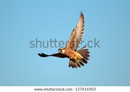 Lanner falcon (Falco biarmicus in flight against a blue sky, South Africa - stock photo