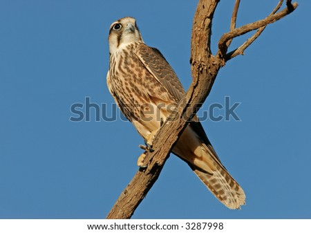 Lanner falcon (Falco biarmicus) perched on a branch, Kalahari, South Africa - stock photo