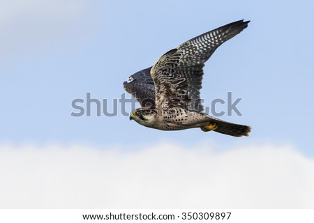 Lanner Falcon passing. A magnificent lanner falcon speeds past the camera with its wings held high. - stock photo