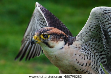 Lanner Falcon with raised wings. A close up shot of a lovely lanner falcon as it lifts its wings up. - stock photo