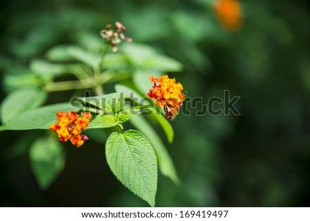 Lantana camara flower in the forest3 - stock photo