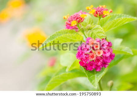 Lantana or Wild sage or Cloth of gold or Lantana camara flower in the garden - stock photo