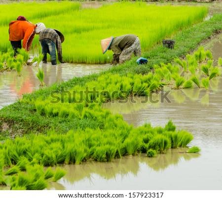 Laos farmer planting on the paddy rice farmland, Laos - stock photo