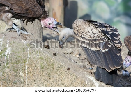 the nubian vulture Starting in the 1990's a 95% population decline in the oriental white-backed vulture was observed in keoladeo old world vultures, new world problems are similar in many ways to the old world vultures (15 species, including the nubian vulture) (eg carrion-eating.