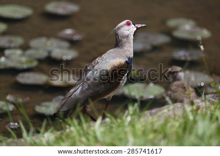 Lapwing at the lakeside - stock photo