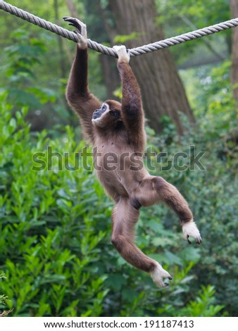Lar Gibbon, or a white handed gibbon (Hylobates lar) plays on a rope in a zoo - stock photo