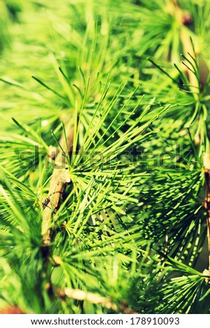 Larch close up - stock photo