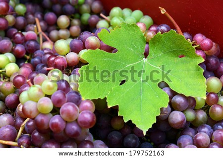 Larg vine leaf over a bunch of hand-picked red wine grapes. Ripe grapes from the vineyard. Wine concept - stock photo