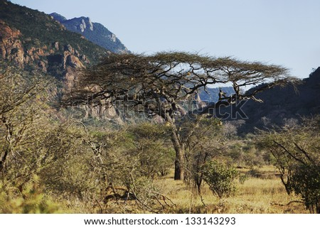 Large Acacia tree in Kenya - stock photo