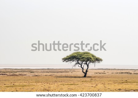 Large Acacia tree in the open savanna plains of Etosha national park near Salvadora waterhole. Namibia, Africa. - stock photo