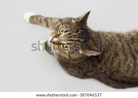 Large adult greeneyed tabby cat isolated on grey - stock photo