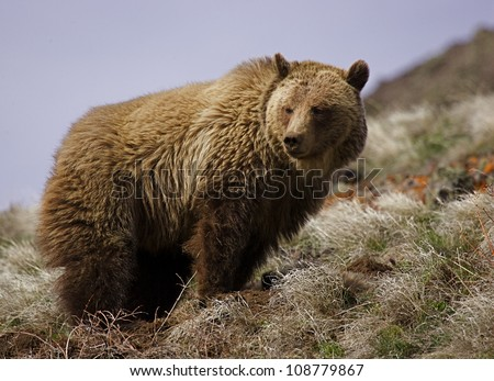 Large adult Grizzly Bear in Yellowstone National Park - stock photo