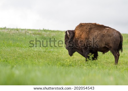 large adult male american buffalo or bison standing on the green prairie grass - stock photo