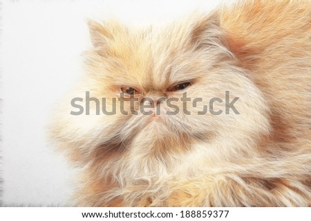 large adult persian cat looking straight into the camera - stock photo