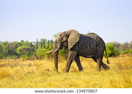 Large African Elephant - stock photo