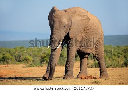 Large African elephant bull (Loxodonta africana), Addo Elephant National park, South Africa - stock photo